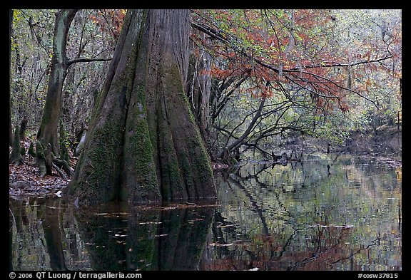 Large buttressed base of bald cypress and fall colors reflections in Cedar Creek. Congaree National Park (color)