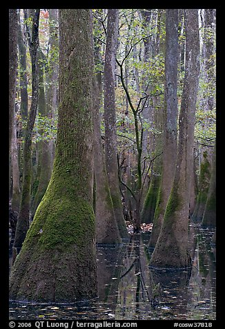 Young tree growing in swamp amongst old growth cypress and tupelo. Congaree National Park (color)