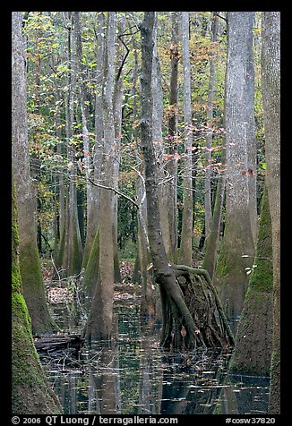Walking tree in swamp. Congaree National Park (color)