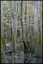 Walking tree in swamp. Congaree National Park, South Carolina, USA. (color)