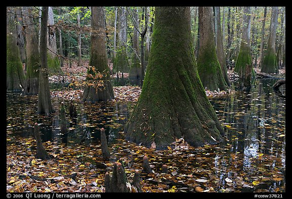 Cypress knees and trunks in swamp. Congaree National Park (color)