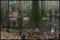 Cypress knees and trunks in swamp. Congaree National Park, South Carolina, USA. (color)