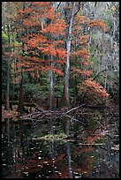 Bald cypress in fall colors and dark waters. Congaree National Park, South Carolina, USA.