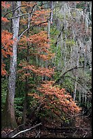 Spanish moss and cypress needs in fall colors. Congaree National Park, South Carolina, USA. (color)