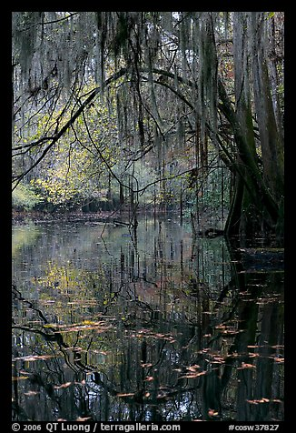 Branches with spanish moss reflected in Cedar Creek. Congaree National Park (color)