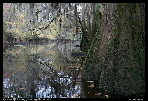 Buttressed cypress base and spanish moss reflected in Cedar Creek. Congaree National Park (color)