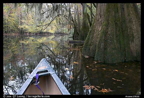 Canoe prow on Cedar Creek amongst large cypress trees, fall colors, and spanish moss. Congaree National Park (color)