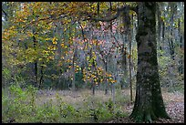 Tree with leaves in autum colors. Congaree National Park, South Carolina, USA.
