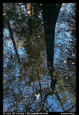 Bald cypress tree reflected in creek. Congaree National Park (color)