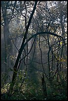 Trees with vines. Congaree National Park, South Carolina, USA.