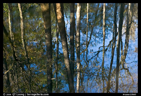 Cypress trees reflected in swamp. Congaree National Park (color)