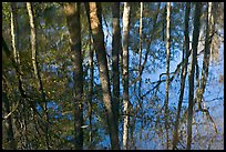Cypress trees reflected in swamp. Congaree National Park, South Carolina, USA. (color)