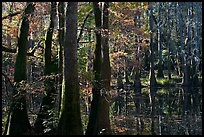 Cypress and Wise Lake on a sunny day. Congaree National Park, South Carolina, USA. (color)