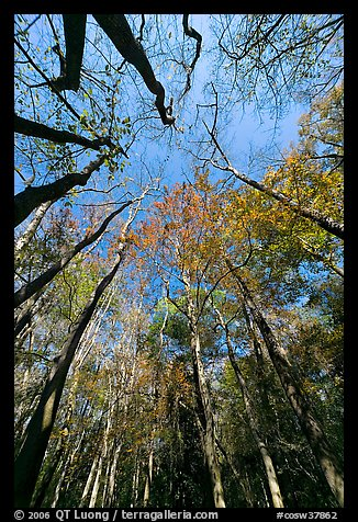 Looking upwards Floodplain forest. Congaree National Park (color)