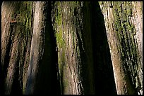 Close-up of buttressed base of bald cypress. Congaree National Park ( color)