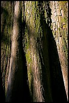 Close-up of base of bald cypress tree. Congaree National Park ( color)