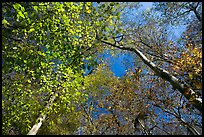 Bright leaves looking up floodplain deciduous forest. Congaree National Park, South Carolina, USA. (color)