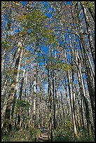 Boardwalk with woman dwarfed by tall trees. Congaree National Park, South Carolina, USA. (color)