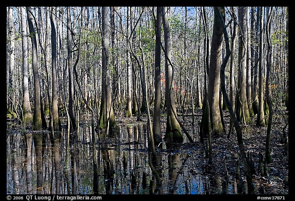 Floodplain trees growing out of swamp on a sunny day. Congaree National Park (color)