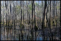 Floodplain trees growing out of swamp on a sunny day. Congaree National Park, South Carolina, USA. (color)