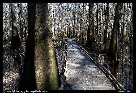 Low boardwalk in sunny forest. Congaree National Park (color)