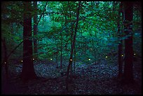 Light trail of a single firefly. Congaree National Park ( color)