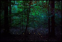 Fireflies. Congaree National Park ( color)