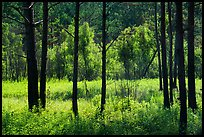 Meadow framed by pine trees. Congaree National Park ( color)