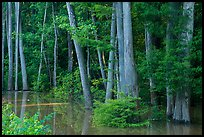 Flooded Floodplain forest near Bates Bridge. Congaree National Park ( color)