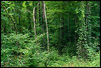 Lush vegetation along Bates Ferry Trail. Congaree National Park ( color)
