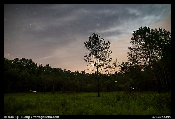 Meadow at night with flying fireflies. Congaree National Park (color)