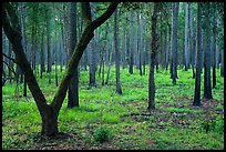 Pine forest. Congaree National Park ( color)