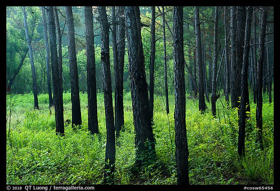 Dark trunks of pine trees at edge of meadow. Congaree National Park (color)