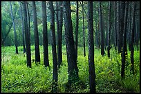 Dark trunks of pine trees at edge of meadow. Congaree National Park ( color)