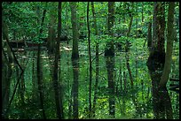 Flooded forest and reflections. Congaree National Park ( color)