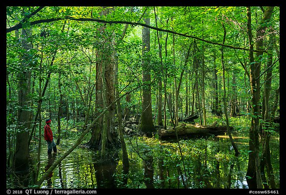 Visitor looking, flooded forest in summer. Congaree National Park (color)