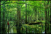 Visitor looking, flooded forest in summer. Congaree National Park ( color)