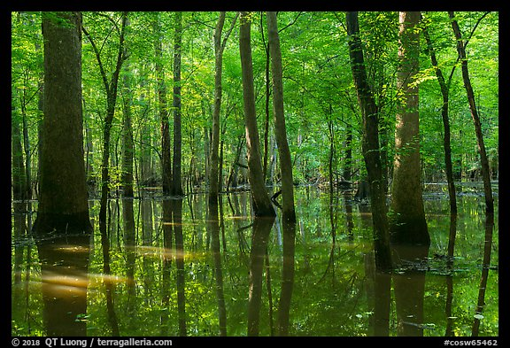 Flooded forest in summer. Congaree National Park (color)
