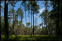 Pine forest on North Bluff. Congaree National Park ( color)