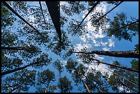 Looking up pine forest. Congaree National Park ( color)