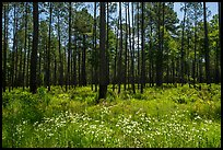 Summer wildflowers and pine forest. Congaree National Park ( color)