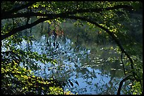 Arching tree and reflection on Kendal lake. Cuyahoga Valley National Park, Ohio, USA.