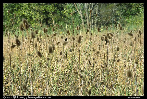 Thistles. Cuyahoga Valley National Park (color)