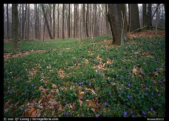 Myrtle flowers on forest floor in early spring, Brecksville Reservation. Cuyahoga Valley National Park (color)