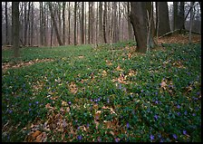 Myrtle flowers on forest floor in early spring, Brecksville Reservation. Cuyahoga Valley National Park ( color)