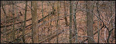 Bare forest with fallen trees on hillside. Cuyahoga Valley National Park (Panoramic color)