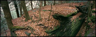 Forest scenery with fallen leaves, fog, and rock cracks. Cuyahoga Valley National Park (Panoramic color)