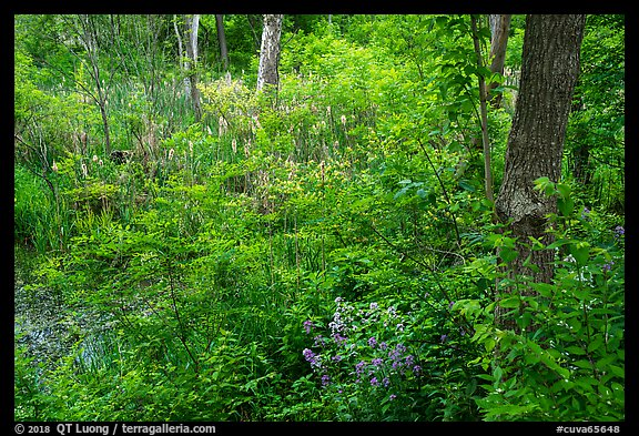 Swampy forest undergrowth in summer. Cuyahoga Valley National Park (color)