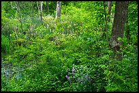 Swampy forest undergrowth in summer. Cuyahoga Valley National Park ( color)