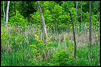 Cattails in forest pond. Cuyahoga Valley National Park ( color)